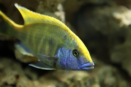 cichlid: Sleeper cichlid