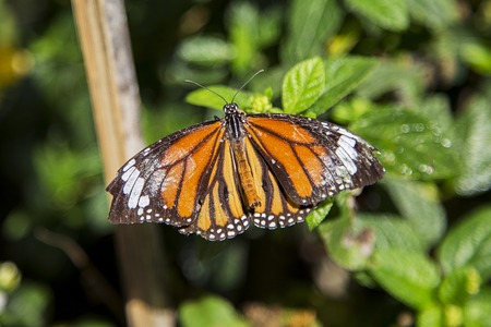 metamorphose: Monarch butterfly from Bai Orchid and Butterfly Farm at Chiang Mai, Thailand Stock Photo