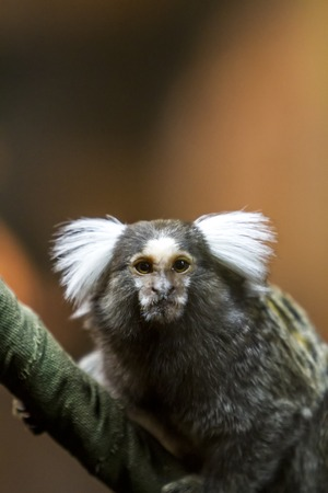 marmoset: Close view of the common marmoset on a branch