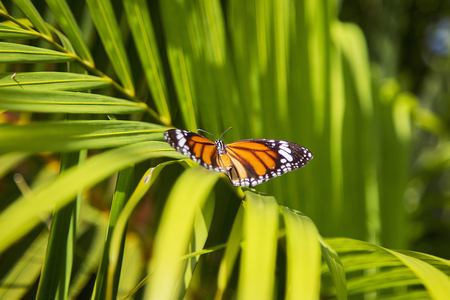 to metamorphose: Monarch butterfly from Bai Orchid and Butterfly Farm at Chiang Mai, Thailand Stock Photo
