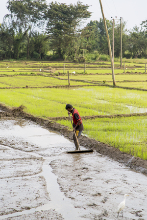 satisfies: DAMBULLA, SRI LANKA - JANUARY 27, 2014: Unidentified man working in the rice field in Dambulla. Sri Lanka producing 2.7 million tons of rice annually and satisfies around 95 percent of requirement.