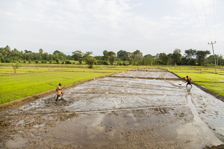satisfies: DAMBULLA, SRI LANKA - JANUARY 27, 2014: Unidentified people working in the rice field in Dambulla. Sri Lanka producing 2.7 million tons of rice annually and satisfies around 95 percent of requirement.