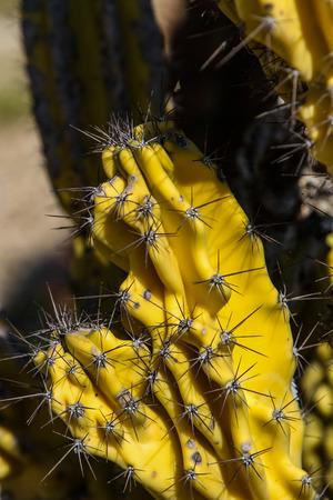 cereus: Detail of the column cactus (Cereus uruguayanus)