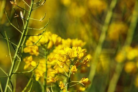 mustard field: Field mustard (Brassica rapa) in the field