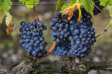 Sangiovese grapes in the Montalcino region of Tuscany, Italy