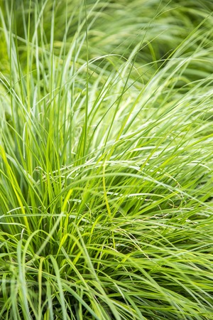 tangy: Close up view at green gras