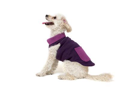 enano: pequeño caniche blanco lindo en ropa del perro aislado en blanco Foto de archivo