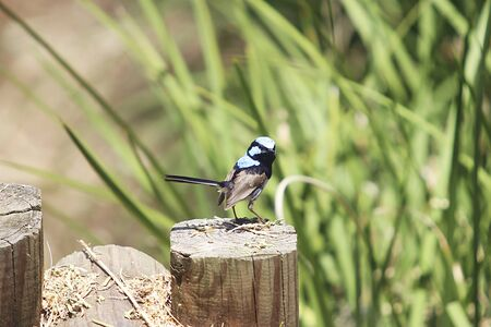 View at Superb fairywren on a log in Australia Banque d'images