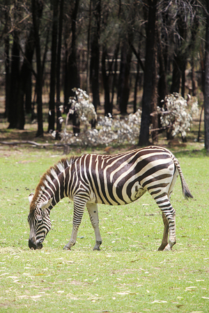 SYDNEY, AUSTRALIA - JANUARY 4, 2017: Plains zebra from Taronga zoo in Sydney. This city zoo was opened at 1916 and now have more than 4000 animals