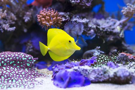 Image of yellow tang fish in aquarium