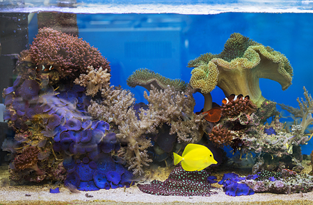 View at beautiful zebrasoma salt water aquarium fish