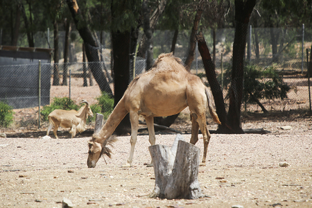 DUBBO, AUSTRALIA - JANUARY 4, 2017: Camels from Taronga Western Plains Zoo in Dubbo. This city zoo was opened at 1977 and now have more than 97 species.