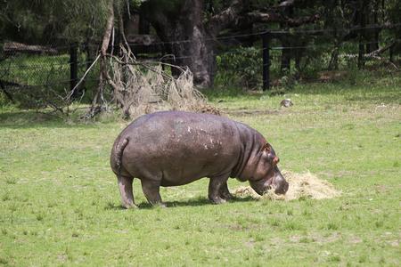 シドニー、オーストラリア - 2017 年 1 月 4 日: シドニー、オーストラリアのタロンガ ウエスタン プレーンズ動物園からカバ。この市の動物園は、1977 報道画像