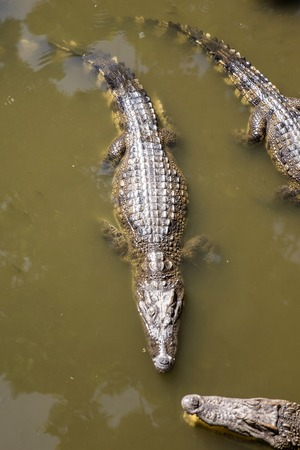 View at Siamese crocodiles Mekong delta in Vietnam