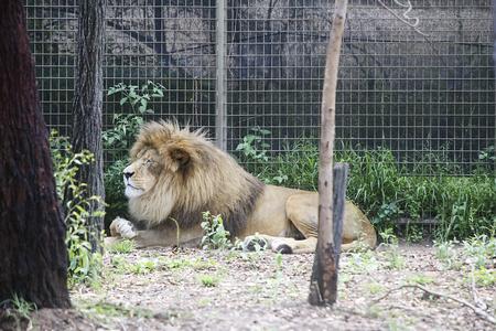 シドニー、オーストラリア - 2017 年 1 月 4 日: シドニー、オーストラリアのタロンガ ウエスタン プレーンズ動物園からライオン。この市の動物園は