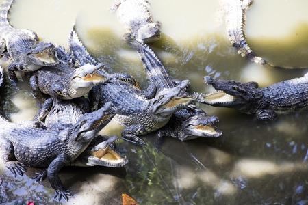 베트남에서 시암 악어에서 볼 수있는 메콩 델타