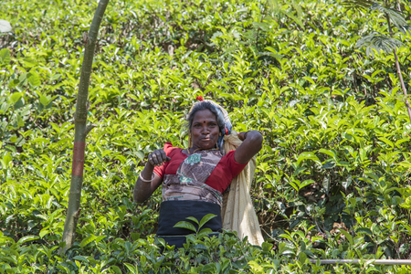 NUWARA, SRI LANKA - JANUARY 26, 2014: Unidentified woman working on the tea plantation in Nuwara, Sri Lanka. Sri Lanka is the worlds fourth largest producer of tea. Editöryel