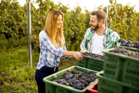 View at young couple with a basket full of grapes in the vineyard Stock Photo