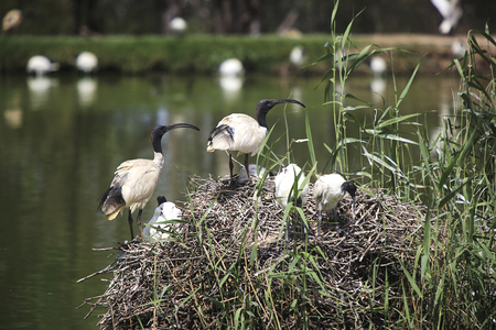 DUBBO, AUSTRALIA - JANUARY 4, 2017: White ibises from Taronga Western Plains Zoo in Dubbo, Australia. This city zoo was opened at 1977 and now have more than 1000 animals