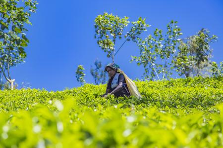 NUWARA, SRI LANKA - JANUARY 26, 2014: Unidentified woman working on the tea plantation in Nuwara, Sri Lanka. Sri Lanka is the worlds fourth largest producer of tea. Editorial