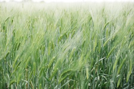 畑に未熟な小麦でビューをクローズ アップ 写真素材