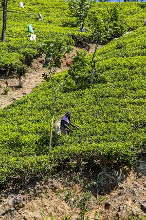 NUWARA, SRI LANKA - JANUARY 26, 2014: Unidentified women working on the tea plantation in Nuwara, Sri Lanka. Sri Lanka is the worlds fourth largest producer of tea.