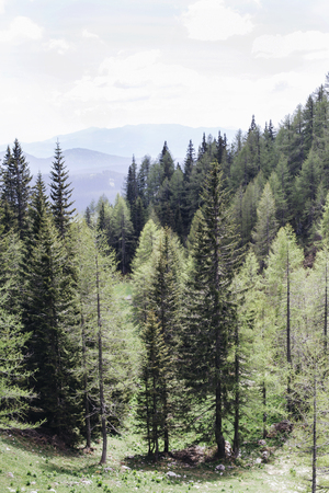 Pine forest on mountain Pokljuka, Slovenia Imagens