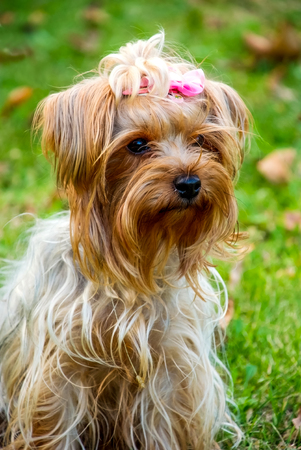 View at cute Yorkshire terrier in the park