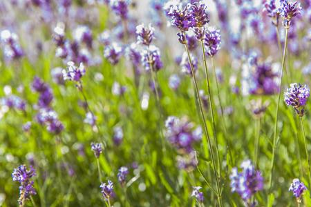 Closeup detail of the lavender field in summer Zdjęcie Seryjne