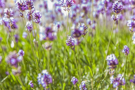 Closeup detail of the lavender field in summer Stock Photo