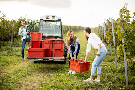 Young people harvesting grapes in the vineyard