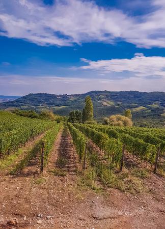 イタリアトスカーナのモンタルチーノにあるブドウ畑 写真素材