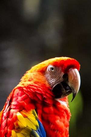 Close up view at scarlet macaw