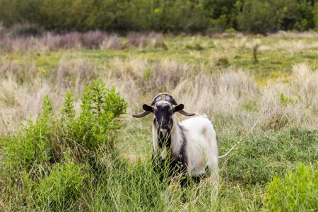 Goat on the field at Korcula island, Croatia