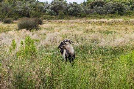 コルチュラ島島のフィールドでヤギ, クロアチア