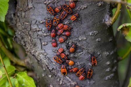 Mening bij firebugs (apterus Pyrrhocoris) op een boomschors