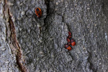 木の樹皮に firebugs (Pyrrhocoris apterus) で見る