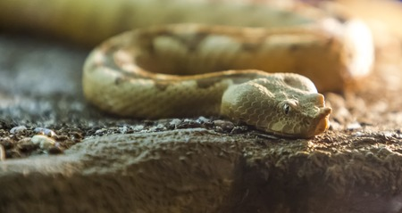 Closeup view at the horned viper snake 版權商用圖片