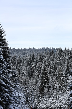 Winter on mountain and pine trees under snow