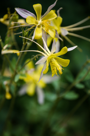 Close up view at Golden columbine (Aquilegia chrysantha)