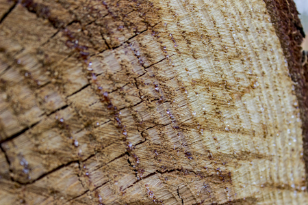 Close up view at wood texture of cut tree trunk