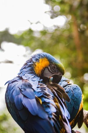 Closeup of the Blue and Yellow Macaw (Ara ararauna) 版權商用圖片