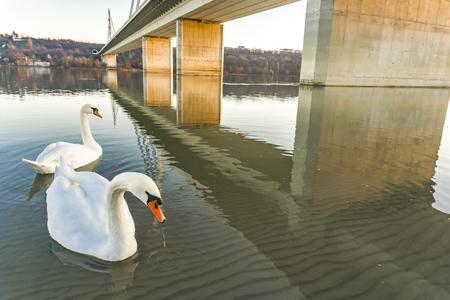 ノヴィ・サドのリバティ・ブリッジの白鳥、セルビア 写真素材