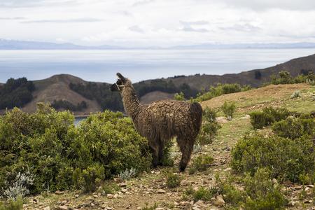 Lama at Isla del Sol on lake Titicaca in Bolivia