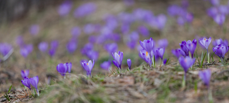 Purple crocus flowers in the forest at spring Stock Photo - 97964460