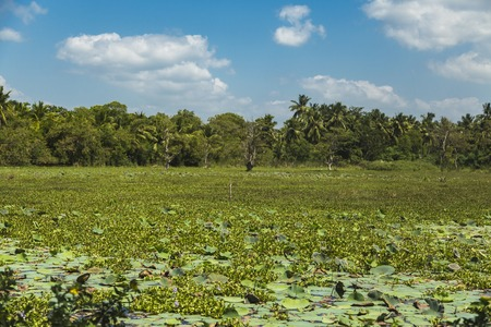 Water lilies on the wetland near Matara in Sri Lanka Stock Photo