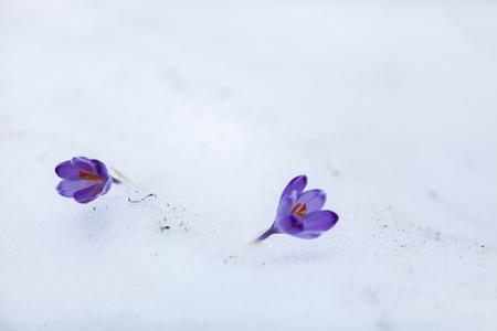 Fiori di croco nella neve nei primi giorni di primavera