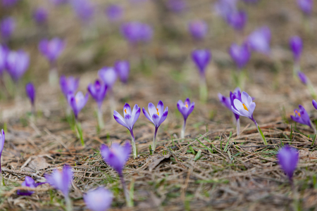 Purple crocus flowers in the forest at spring