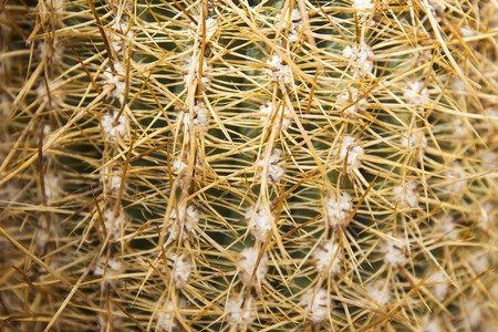Closeup detail of the cactus from Bolivia 版權商用圖片