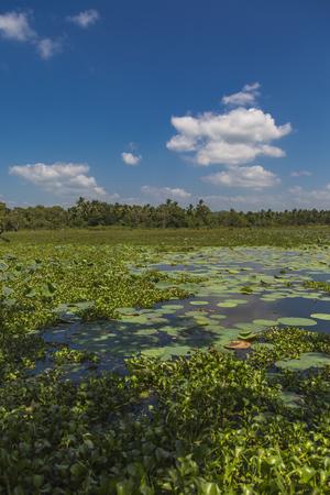 Ninfee sulla zona umida vicino a Matara nello Sri Lanka Archivio Fotografico - 98872022